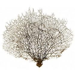 Gorgonia naturalny koralowiec - 35-45cm