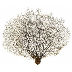 Gorgonia naturalny koralowiec - 40-50cm
