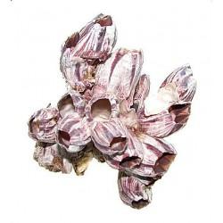 Muszle Barnacle Pąkle 3-5 - Małe