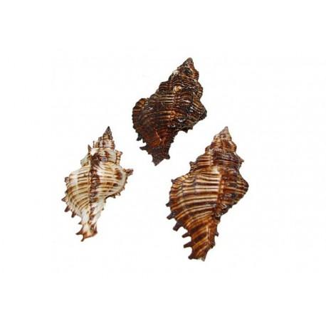 Muszla Nassa Murex Turifactus - 5-10cm