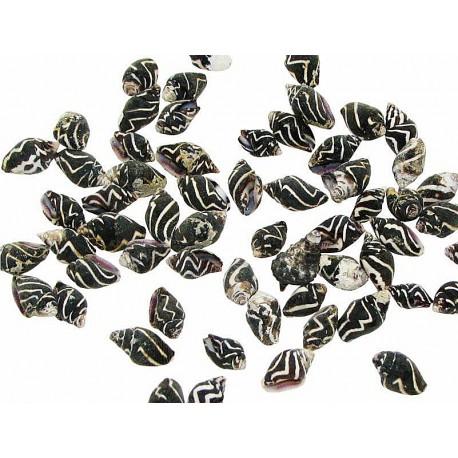 Muszla Pyrene ocellata 0,5-1,5cm - 50szt.
