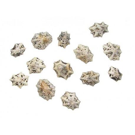 Muszla Star Limpet 0,5-1,5cm - 50szt.