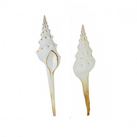 Muszla White Fusus - 10-12cm.