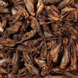Glopex Suszone Świerszcze - uzupełnienie 150g
