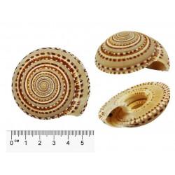 Muszla Conus litteratus - 17cm