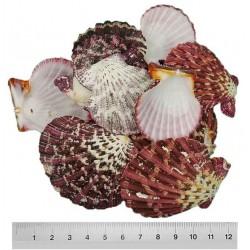 Muszla Pecten Phallium - 4-7cm