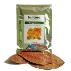 Tantora Cattapa Leaves liście Ketapangu XL - 10szt
